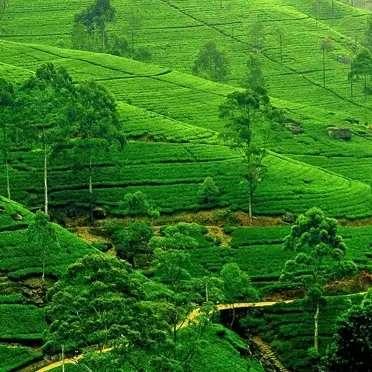Tea-Plucking-and-Tea-Factory-Tour-1