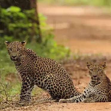 Wilpattu-Safari-Camp