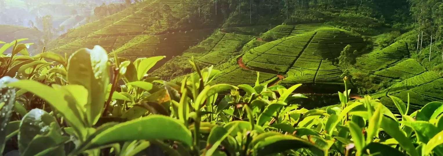 Tea-Plucking-Tour-sri-lanka-2
