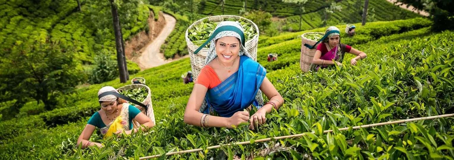 Tea-Plucking-Tour-sri-lanka
